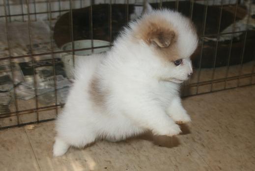 The Top 100 Pomeranians Sites